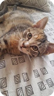 Domestic Shorthair Kitten for adoption in Chicago, Illinois - Toast