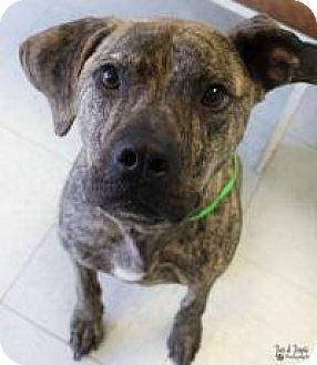 Mastiff Mix Dog for adoption in Yukon, Oklahoma - Maverick