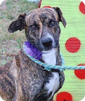 Plott Hound/Labrador Retriever Mix Dog for adoption in Pluckemin, New Jersey - Hazel