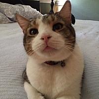 Adopt A Pet :: Beauregard - McKinney, TX