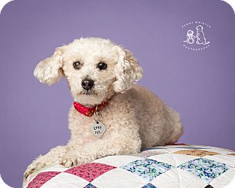 Miniature Poodle Mix Dog for adoption in Coppell, Texas - Penny