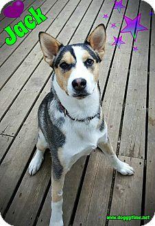 Siberian Husky/Border Collie Mix Dog for adoption in Warkworth, Ontario - Jack