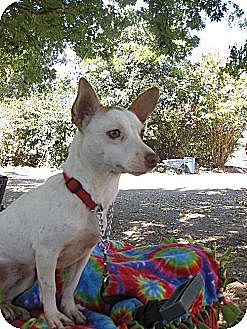 Chihuahua/Terrier (Unknown Type, Small) Mix Dog for adoption in Elk Grove, California - Bunny