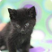 Domestic Mediumhair Kitten for adoption in Walla Walla, Washington - Bilbo