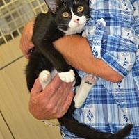 Domestic Mediumhair Cat for adoption in ROSENBERG, Texas - Alex