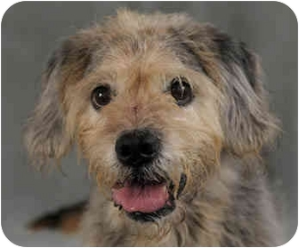 Wheaten Terrier Mix Dog for adoption in Chicago, Illinois - Lady