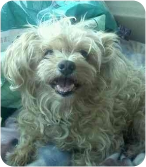 Yorkie, Yorkshire Terrier/Poodle (Toy or Tea Cup) Mix Dog for adoption in Phoenix, Arizona - Muffin
