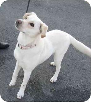 Labrador Retriever/Husky Mix Dog for adoption in Conesus, New York - Clair Bear