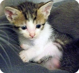 Domestic Shorthair Kitten for adoption in Secaucus, New Jersey - Muffin