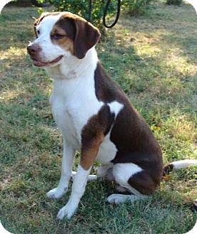 Beagle/Pointer Mix Dog for adoption in Portland, Maine - Bo