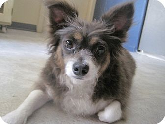 Chihuahua Mix Dog for adoption in San Antonio, Texas - Stanley