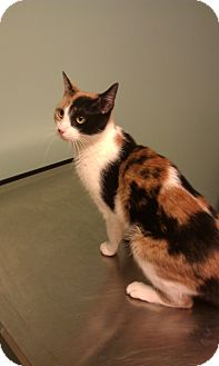 Domestic Shorthair Cat for adoption in New London, Wisconsin - Merideth