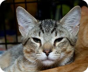 Domestic Mediumhair Cat for adoption in Sacramento, California - Banjo