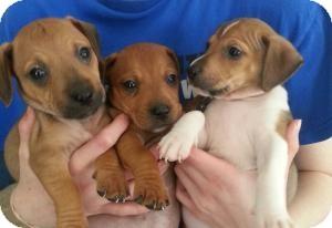Dachshund/Terrier (Unknown Type, Medium) Mix Puppy for adoption in Marlton, New Jersey - Babie Boys!