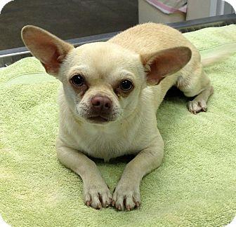 Chihuahua Mix Dog for adoption in San Angelo, Texas - Courtesy Listing ~ Sebastian