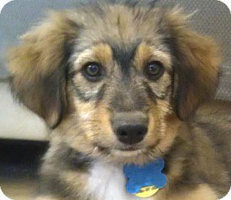Terrier (Unknown Type, Medium)/German Shepherd Dog Mix Puppy for adoption in Flagstaff, Arizona - Duster
