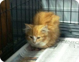 Domestic Mediumhair Cat for adoption in Princeton, Kentucky - Shasta