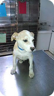 Labrador Retriever Mix Puppy for adoption in Waldorf, Maryland - Blake