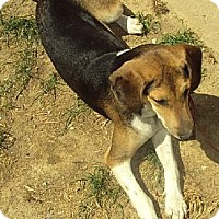 Beagle/Coonhound Mix Dog for adoption in Laconia, Indiana - Lucy is Lost