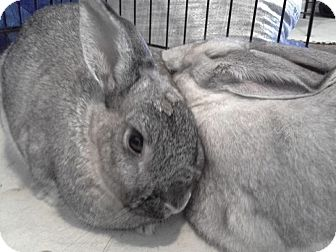 Dwarf Mix for adoption in Los Angeles, California - Lady