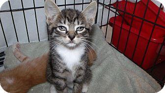 Domestic Shorthair Kitten for adoption in Muskegon, Michigan - Alice