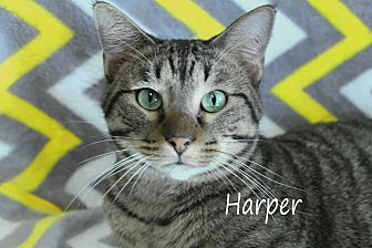 Domestic Shorthair Cat for adoption in Wichita Falls, Texas - Harper