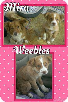Corgi/Australian Shepherd Mix Puppy for adoption in Apache Junction, Arizona - Mira