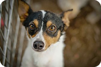 Toy Fox Terrier Mix Dog for adoption in Temecula, California - Lil Brother
