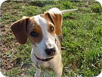 Beagle/Feist Mix Dog for adoption in Rutherfordton, North Carolina - Buzzy