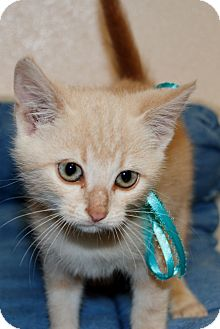 American Shorthair Kitten for adoption in Salem, West Virginia - Pumpkin