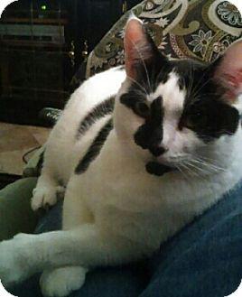 Domestic Shorthair Cat for adoption in Gilbert, Arizona - Buddy