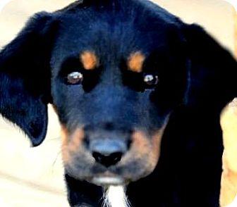 Labrador Retriever/Gordon Setter Mix Puppy for adoption in Wakefield, Rhode Island - EMMA(THE SURPRISE PUPPY!!)