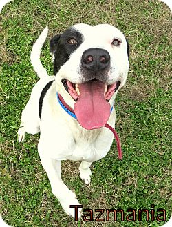 Bull Terrier Mix Dog for adoption in Georgetown, South Carolina - Tazmania