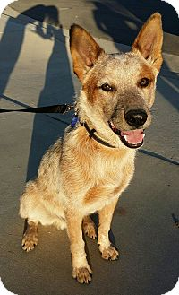 Australian Cattle Dog Dog for adoption in Inland Empire, California - CHEVY
