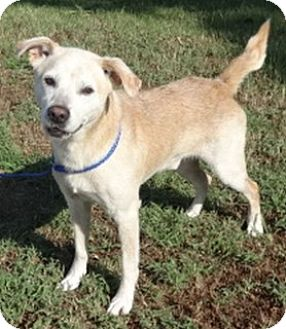 Labrador Retriever Mix Dog for adoption in Olive Branch, Mississippi - Rooster