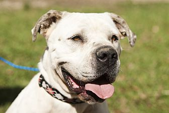 American Bulldog Mix Dog for adoption in hollywood, Florida - Sugar