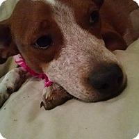 Adopt A Pet :: SCOUT - Nashville, TN