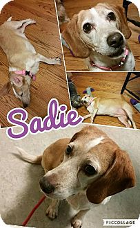 Beagle Dog for adoption in bridgeport, Connecticut - Sadie