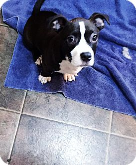 Pit Bull Terrier/Boxer Mix Puppy for adoption in Camas, Washington - Bam Bam