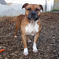 Pit Bull Terrier Mix Dog for adoption in Seattle, Washington - Opie