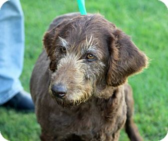 Labradoodle Dog for adoption in Liberty Center, Ohio - Missy