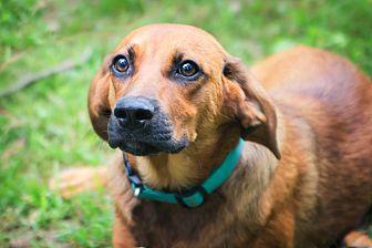 Redbone Coonhound/Shepherd (Unknown Type) Mix Dog for adoption in Hagerstown, Maryland - Tom
