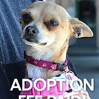 Chihuahua Dog for adoption in Novato, California - Biscuit