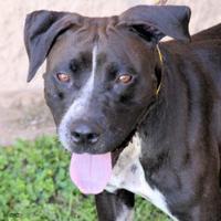 Adopt A Pet :: Opal - Georgetown, TX