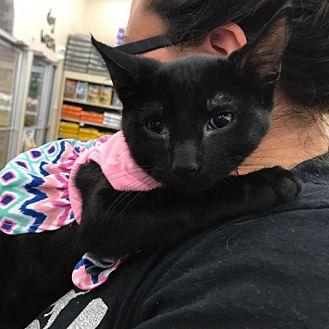Domestic Shorthair Kitten for adoption in Fairfax, Virginia - Leah (Mya)