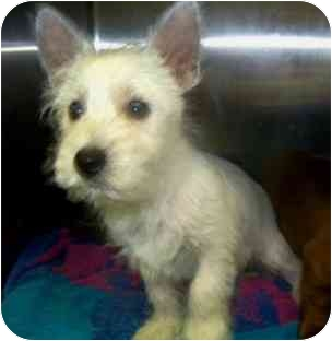 Westie, West Highland White Terrier Puppy for adoption in Dayton, Ohio - Willy