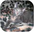 Calico Cat for adoption in Merrifield, Virginia - Serafina