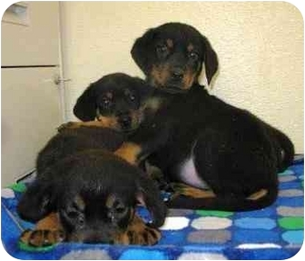 Rottweiler Mix Puppy for adoption in Hammonton, New Jersey - Rotti boys