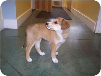 Collie/Shepherd (Unknown Type) Mix Puppy for adoption in Hillsville, Virginia - Belle