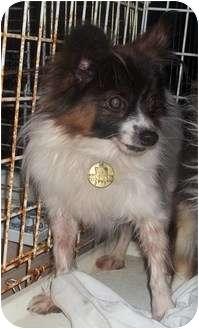 Papillon Dog for adoption in Oak Ridge, New Jersey - Renegade-TINY!